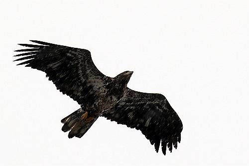 bald eagle, juvenile in flight 2015-01-04-030 SidP - blog