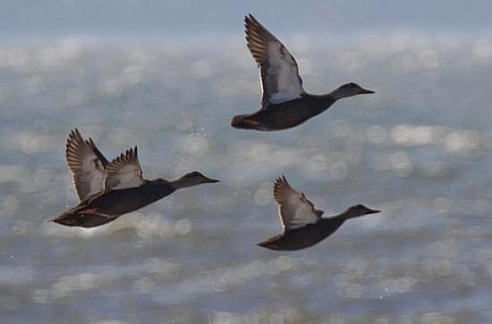 Black ducks in flight  (photo courtesy of Wikimedia Commons)