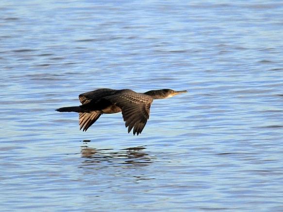 Cormorant in flight  (Photo courtesy of Wikimedia Commons)