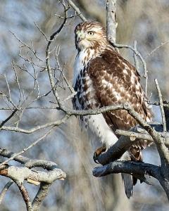 Red-tailed hawk (Sid Padgaonkar) - blog